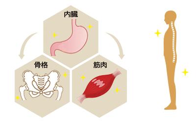 内臓、筋肉、骨格
